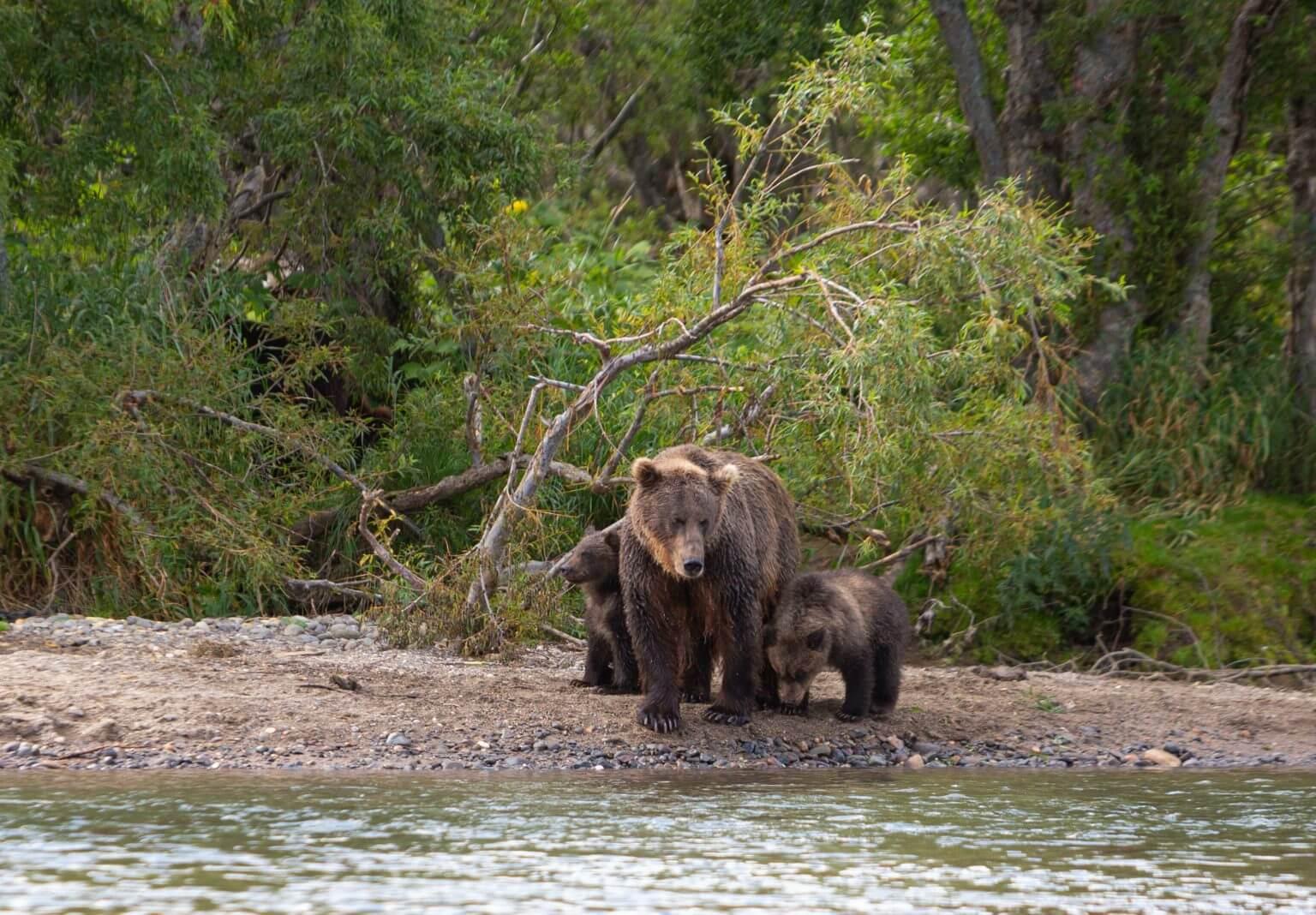 мать медведь